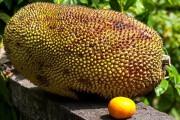 Дуриан фрукт и джекфрут - полезные свойства и особенности фруктов