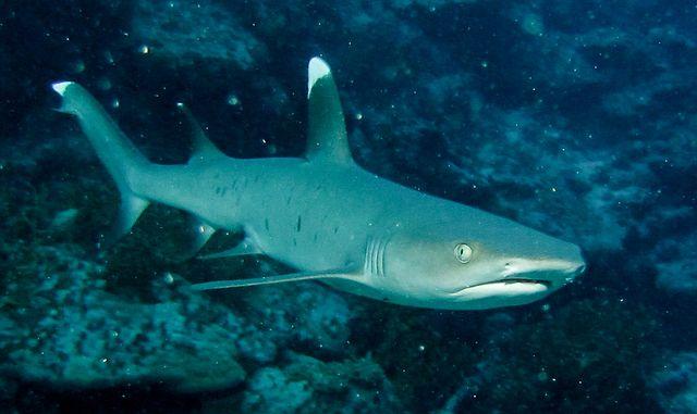 рифовая-акула