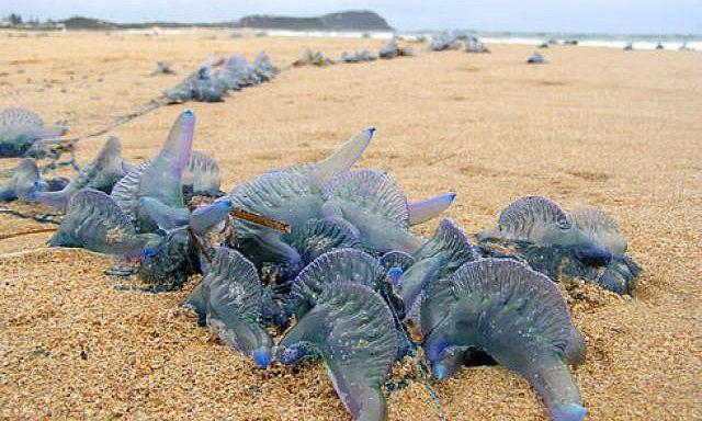 ядовитые медузы