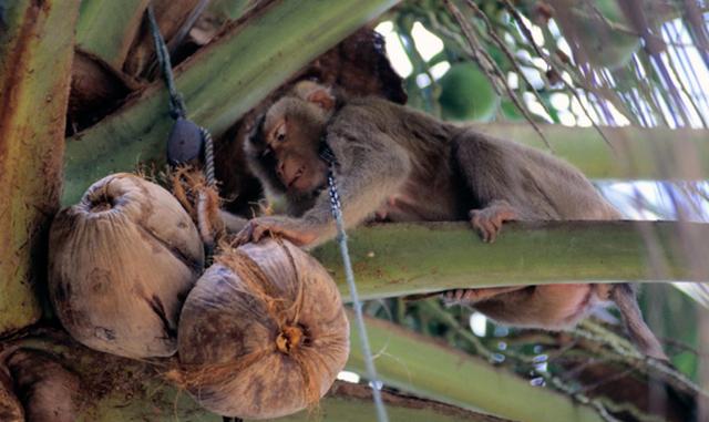 тренировки обезьян
