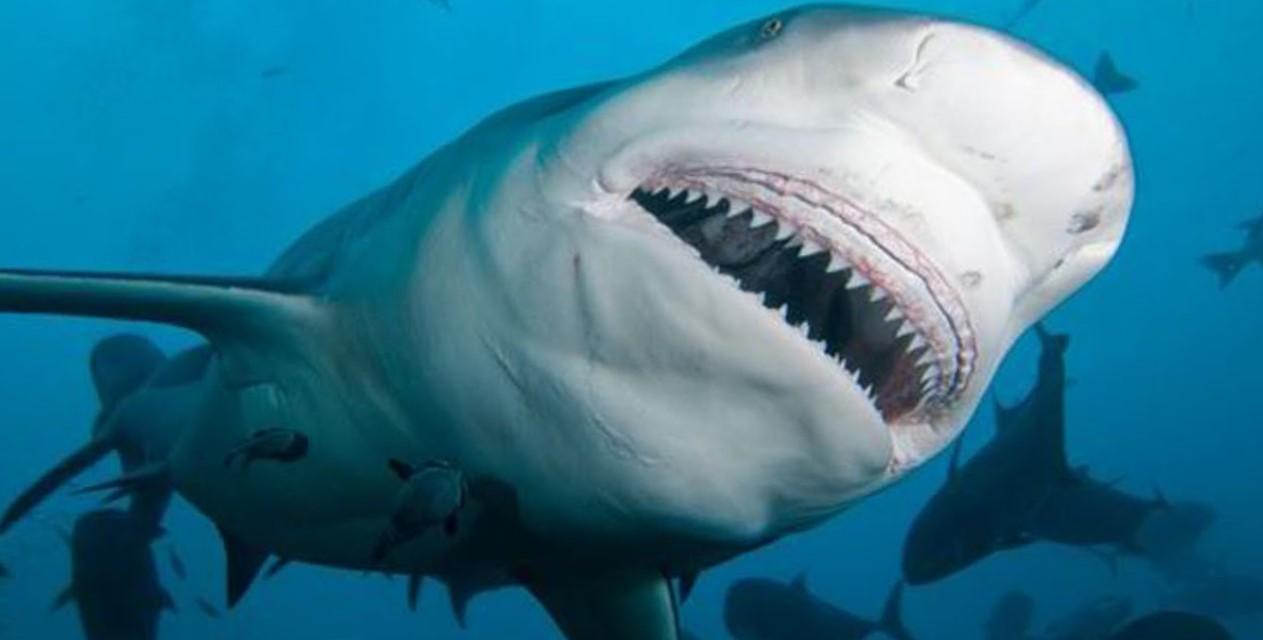 тупорыльная акула