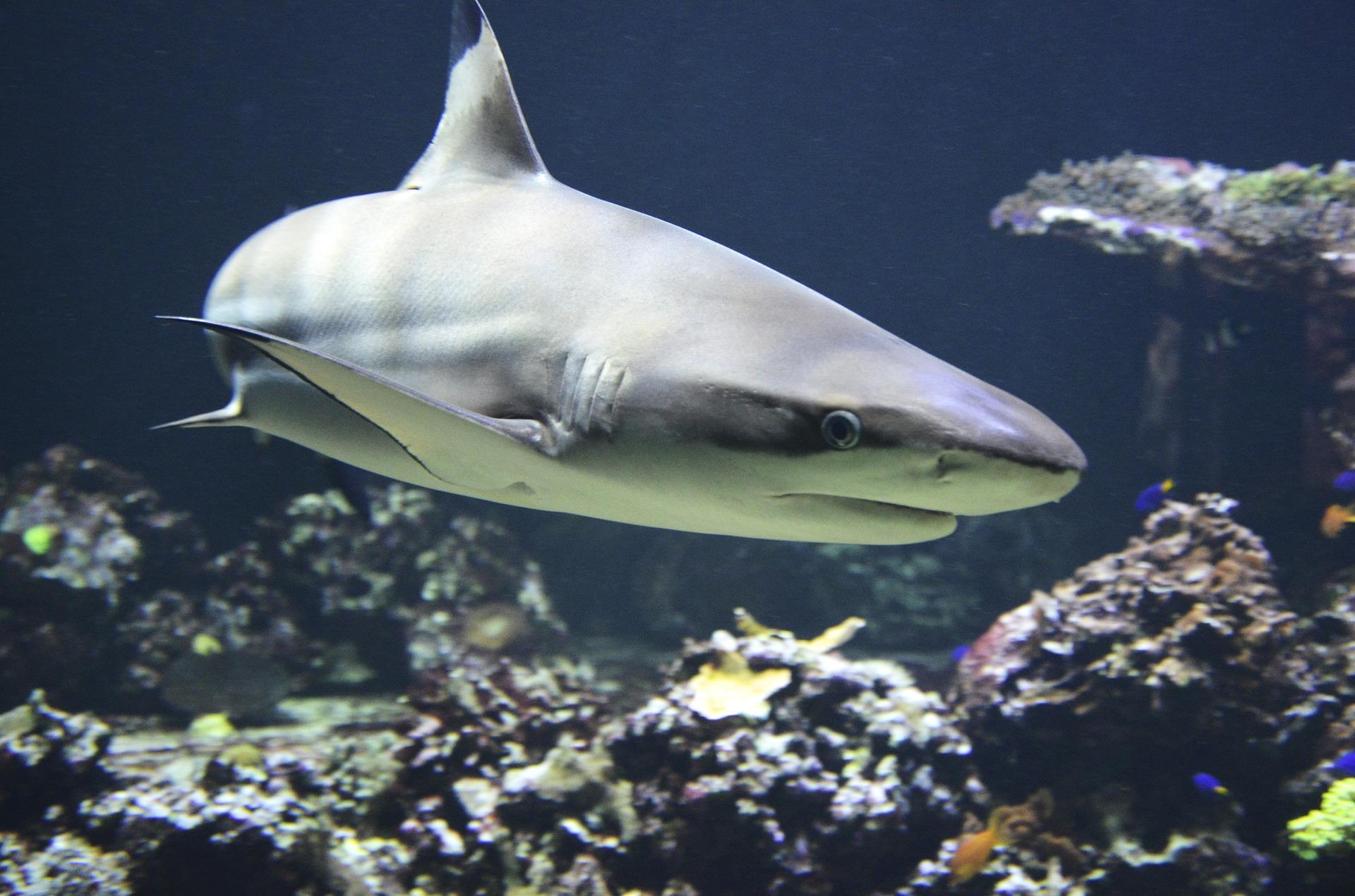 акулы хау хин
