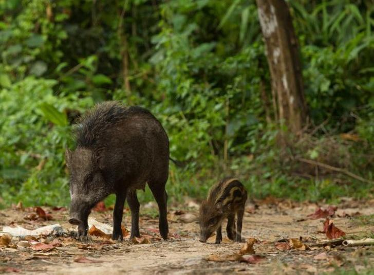Wild boars at Ko Tarutao