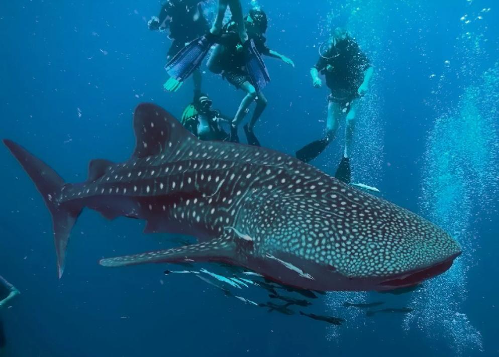 Китовая акула на Чумпхоне