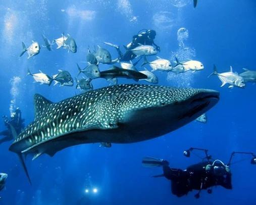 Китовая акула в Таиланде