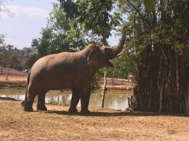 Слон в Khao Yai