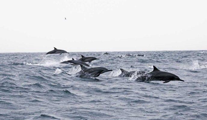 Delfin omanda seyr edir