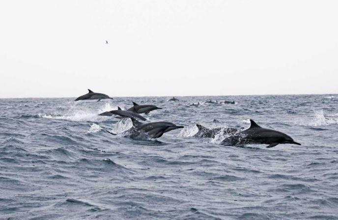 Dolphin ap gade nan Oman